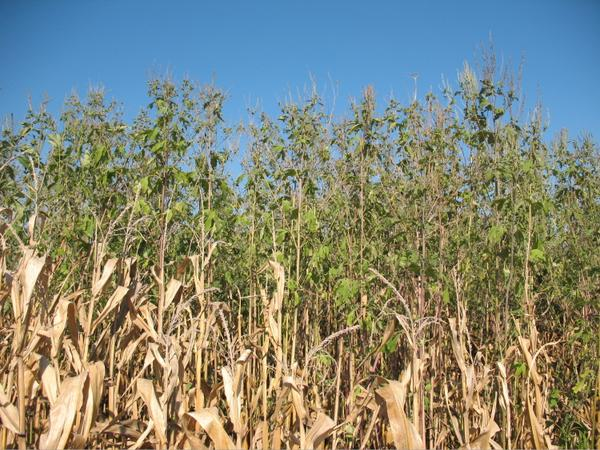 Ragweed in corn